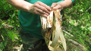 A wildcrafter peeling off the outer bark.